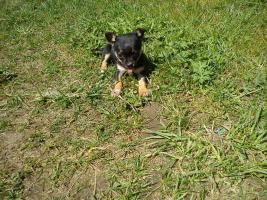 Foto 2 !Süßes Chihuahua Mädchen!