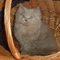 Süßes Highlander-Kitten sucht zukünftiges Schmusepersonal