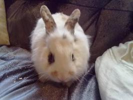 Süßes Kaninchen mit Käfig zu verkaufen