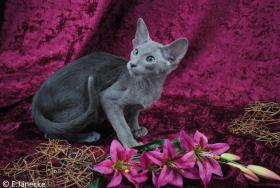 *****Süßes OKH Orientalisch Kurzhaar Kätzchen abzugeben****