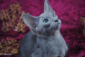 Foto 2 *****Süßes OKH Orientalisch Kurzhaar Kätzchen abzugeben****