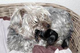 Foto 3 Süßes kleiner Yorkshire Terrier Weibchen