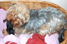 Foto 4 Süßes kleiner Yorkshire Terrier Weibchen