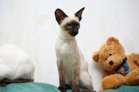 Foto 3 Süßes kleines Siam Katzen Kind