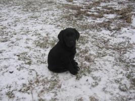 Süßes schwarzes Labradormädchen