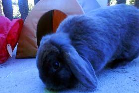 Süßes, graues Schlappohren Kaninchen, ca. 1 Jahr alt, männchen..total süßßß...großer Käfig + Zubehör GRATIS dazu!!!