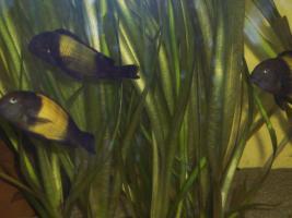 Foto 2 Süßwasserfische - Tanganjikasee -  Barsche - Tropheus moorii