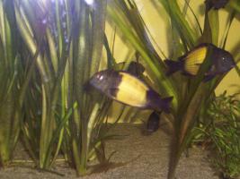 Foto 3 S��wasserfische - Tanganjikasee -  Barsche - Tropheus moorii