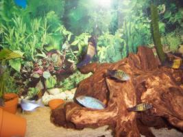 Foto 4 Süßwasserfische - Tanganjikasee -  Barsche - Tropheus moorii
