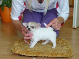 Süüüße Chihuahua-Welpen 200 euros