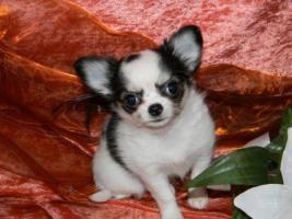 Foto 3 Süüüße Chihuahua-Welpen 200 euros