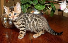 Super Schöne & liebe Bengal Kitten su liebevolles Zuhause