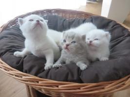 Foto 2 Super Süße BKH Kitten in lilac-weiss-red-silver-tabby