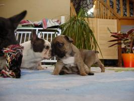 Foto 5 Super S��e Franz�sische Bulldoggen - Welpen