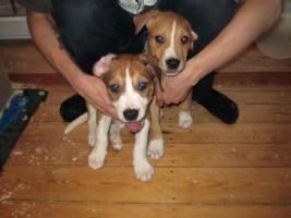 Foto 2 Super Süße Labrador-Mischlinge suchen AB SOFORT ein neues Zuhause!