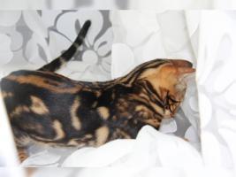 Foto 2 Super Süßes Bengal Marbled Kätzchen sofort zu haben