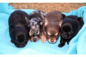 Super Typvolle Chihuahua Welpen traum Farben