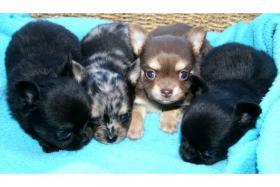 Foto 2 Super Typvolle Chihuahua Welpen traum Farben