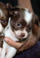 Super hübscher kleiner Chihuahua Welpe. Rüde, chocolate white, LH