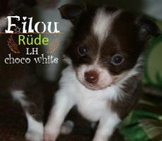 Foto 2 Super hübscher kleiner Chihuahua Welpe. Rüde, chocolate white, LH
