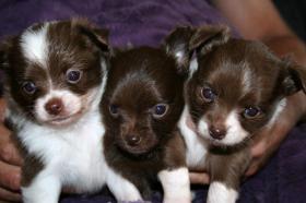 Foto 7 Super hübscher kleiner Chihuahua Welpe. Rüde, chocolate white, LH