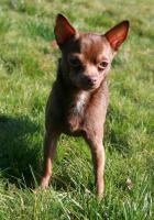 Foto 10 Super hübscher kleiner Chihuahua Welpe. Rüde, chocolate white, LH