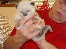 Super schöne Ragdoll Kitten abzugeben