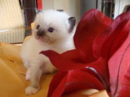 Foto 2 Super schöne Ragdoll Kitten abzugeben