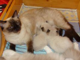 Foto 3 Super schöne Ragdoll Kitten abzugeben