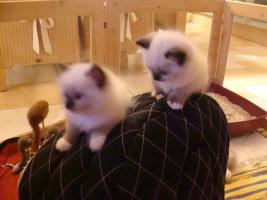 Foto 4 Super schöne Ragdoll Kitten abzugeben