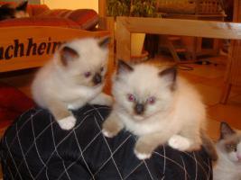 Foto 5 Super schöne Ragdoll Kitten abzugeben
