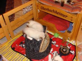 Foto 6 Super schöne Ragdoll Kitten abzugeben