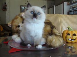 Foto 7 Super schöne Ragdoll Kitten abzugeben
