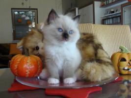 Foto 8 Super schöne Ragdoll Kitten abzugeben
