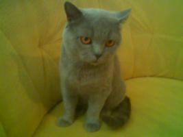 Super süße BKH Katzenbabys