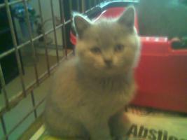 Foto 2 Super s��e BKH Katzenbabys