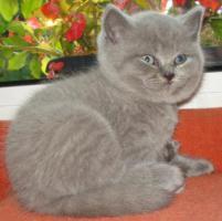 Super süße BKH Kitten in blue suchen neues Kuschelpersonal