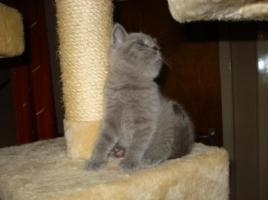 Foto 2 Super süße BKH Kitten in blue suchen neues Kuschelpersonal