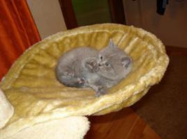 Foto 4 Super süße BKH Kitten in blue suchen neues Kuschelpersonal