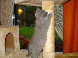 Foto 5 Super süße BKH Kitten in blue suchen neues Kuschelpersonal