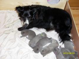Foto 6 Super süße BKH Kitten in blue suchen neues Kuschelpersonal