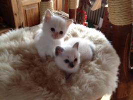 Super süße Birma - Kitten aus Hobbyzucht zu verkaufen