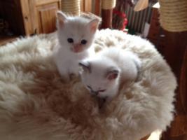 Foto 2 Super süße Birma - Kitten aus Hobbyzucht zu verkaufen