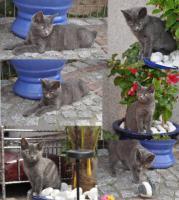 Super süsse Britisch Kurzhaar Mischlings Katze .