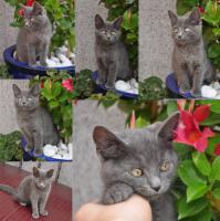 Foto 2 Super süsse Britisch Kurzhaar Mischlings Katze .