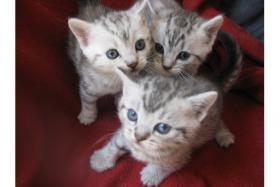 Super süße Britisch Kurzhaar ''Whiskas'' Babys suchen ab Ende Juli ein neues Zuhause