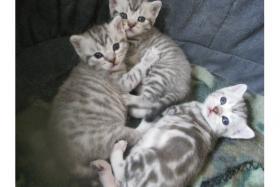 Foto 2 Super s��e Britisch Kurzhaar ''Whiskas'' Babys suchen ab Ende Juli ein neues Zuhause