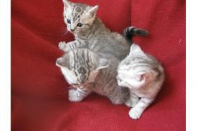 Foto 3 Super s��e Britisch Kurzhaar ''Whiskas'' Babys suchen ab Ende Juli ein neues Zuhause