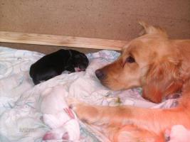 Foto 3 Super s��e Golden Retriever Mischlingswelpen