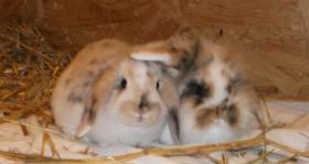Foto 3 Super süße ZWERGWIDDER u.Angora Kaninchen - Widder! SELTENE FARBE